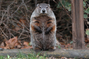 potato creek woodchuck